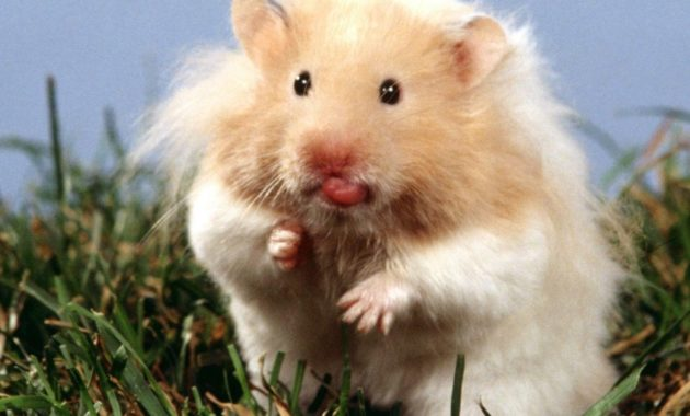 "All About Syrian ""Teddy Bear"" Hamster : House, Care, Toy, Feeding, Lifespan"