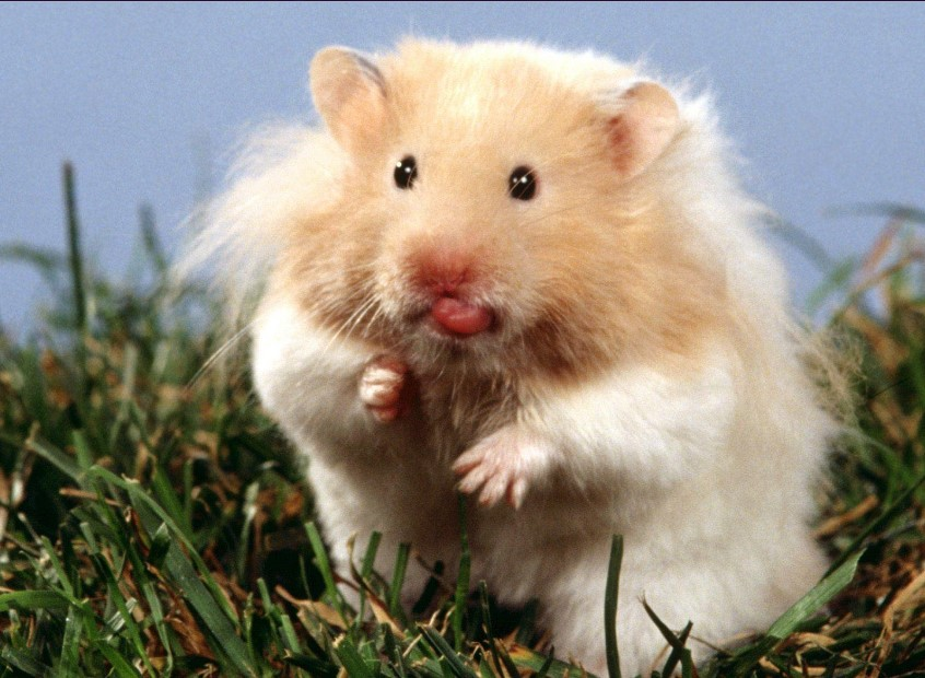 "All About Syrian ""Teddy Bear"" Hamster 