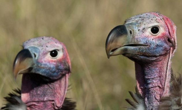 Bald and Hairless Animal: vultures