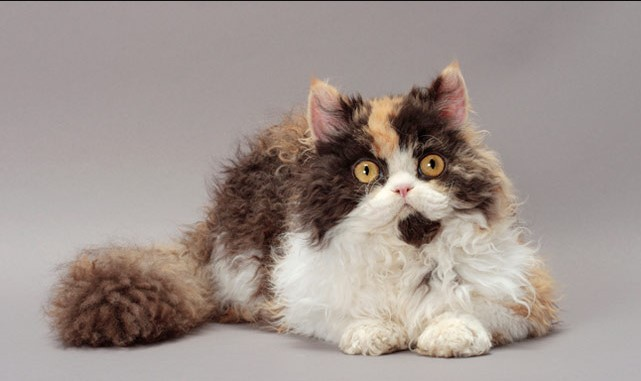 Top 8 Beautiful Curly Haired Cat Breeds in the World