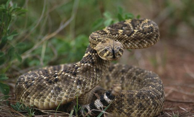 Two North American rattlesnake species are commonly called diamondbacks. Here is all fact about Rattlesnake and Their Babies.