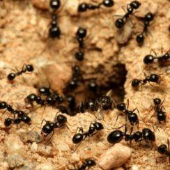 Ant infestation