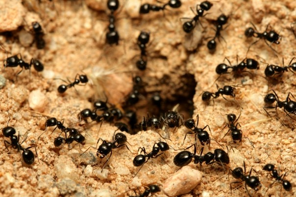 Ant infestation