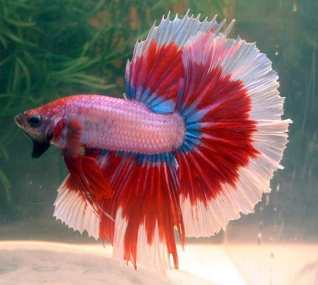 Bi Colours Betta Fish