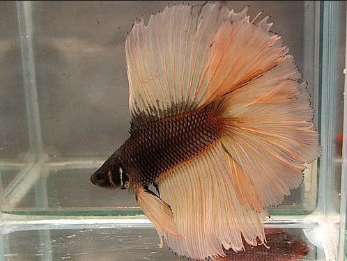 Chocolate Betta Fish