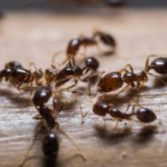 about Fire Ant Bites