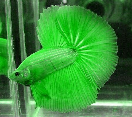 Green Betta Fish