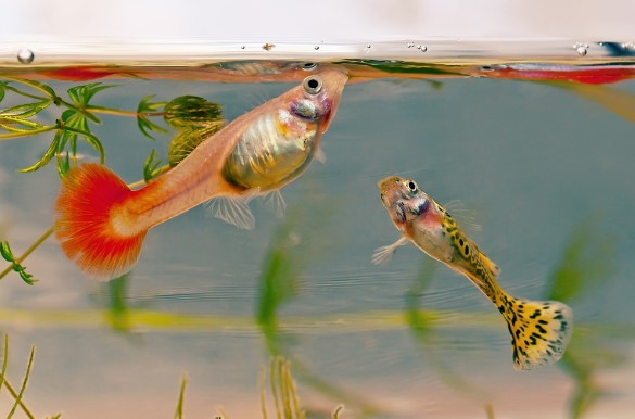 About Guppy: 5 Fundamentals Of Guppy Care