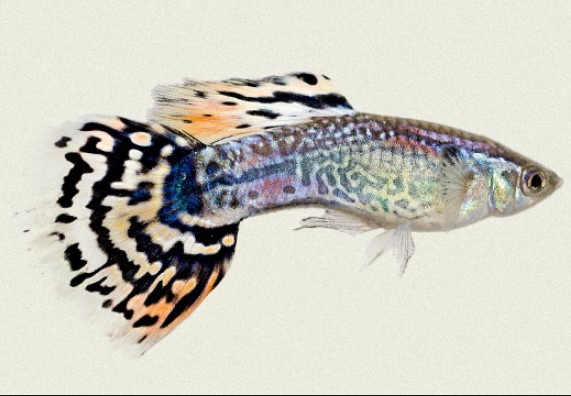 Different Types of Guppies In The World