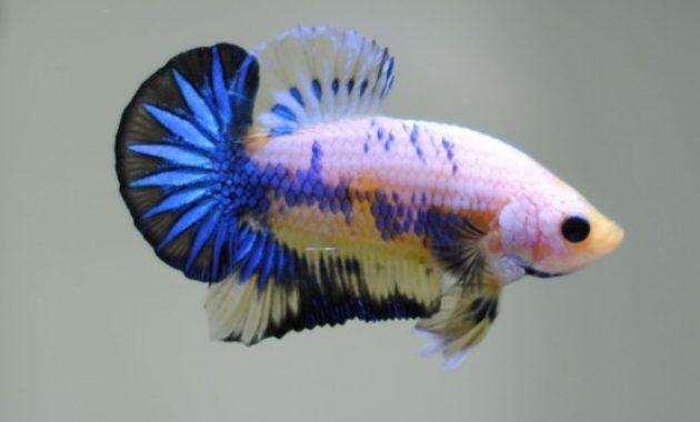MarbleBetta Fish