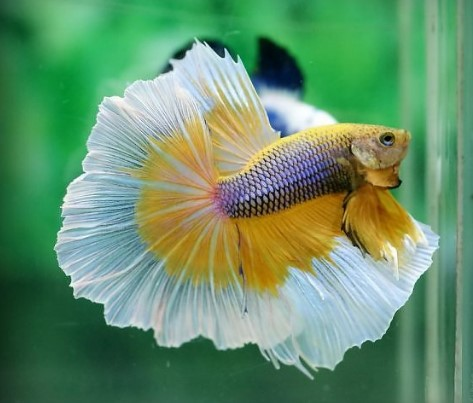 Mustard Gas Betta Fish