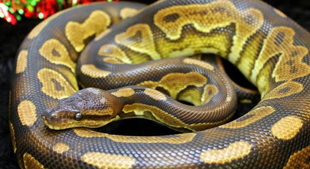Things You Should Know About Pet Snakes