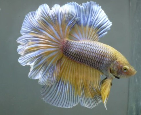 Pineapple Betta Fish