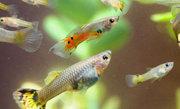 Fundamentals Of Guppy Care