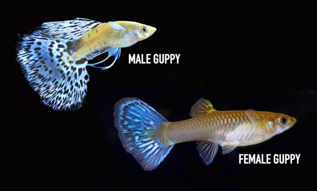 Common Methods How to Control Guppy Population