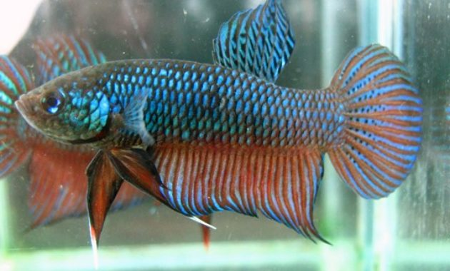 Wild-Type Betta Fish