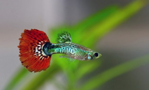 types of Guppies In The World