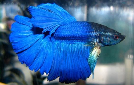 Blue Betta Fish Tdf Blog