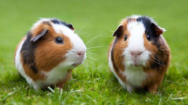 fact about guinea pig