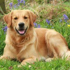 popular dog breeds in philippines