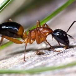 the truth about sugar ants