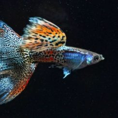 types of Guppies