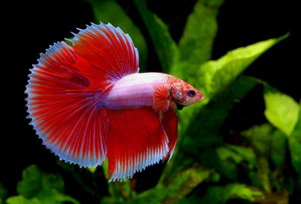 35+ Beautiful Types of Betta Fish with Amazing Pictures