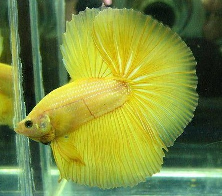 yellow Betta Fish