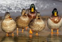 Different Types of Ducks