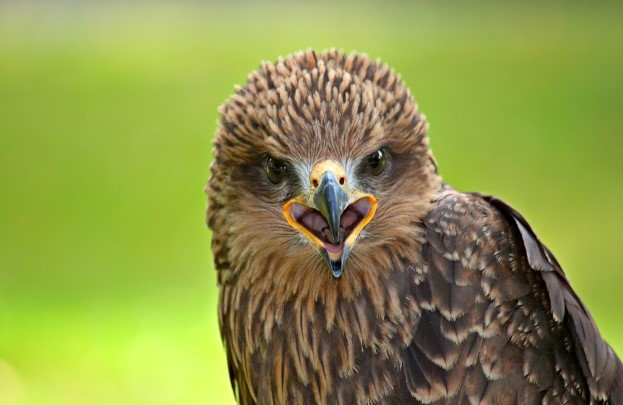 Top 6 Different Types of Falcons