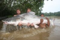 All About Piraiba Catfish, One of the Largest Catfish in The World