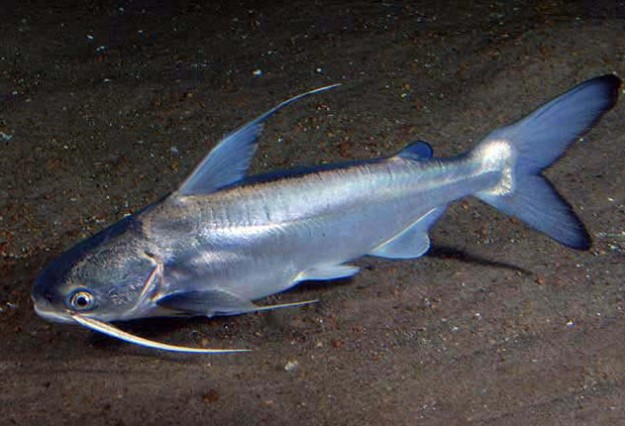 All About Saltwater Catfish: Is the Saltwater Catfish Edible And How to Catch Them
