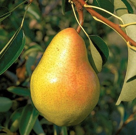 different types of pear