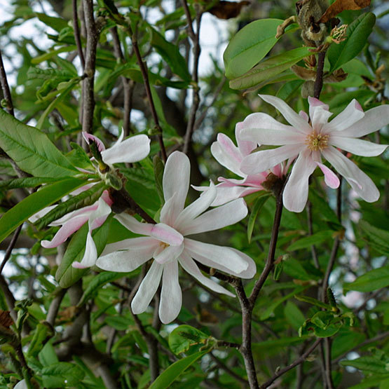 Different Types of Magnolia Trees