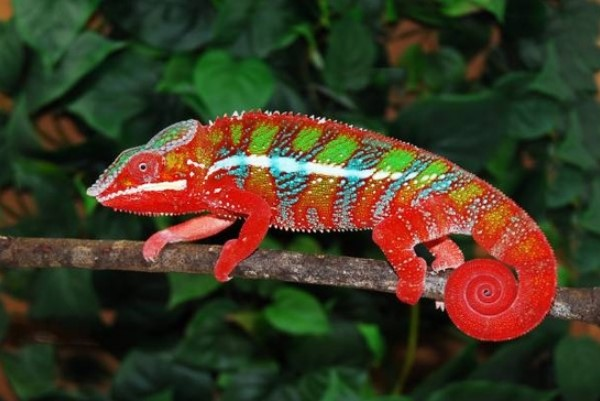 Different Types of Chameleons
