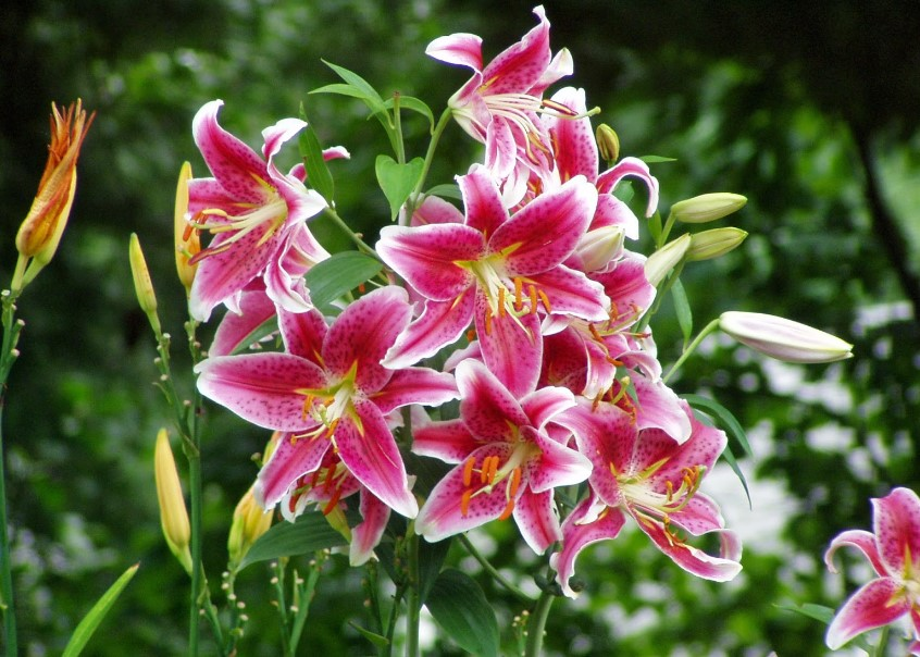 Different Types of Lilies That You Must to Know