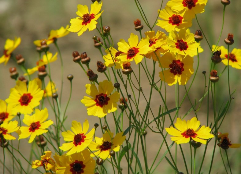 Top 25 most yellow flowers in the world meaning seasonal and 6 types of yellow flowers coreopsis mightylinksfo