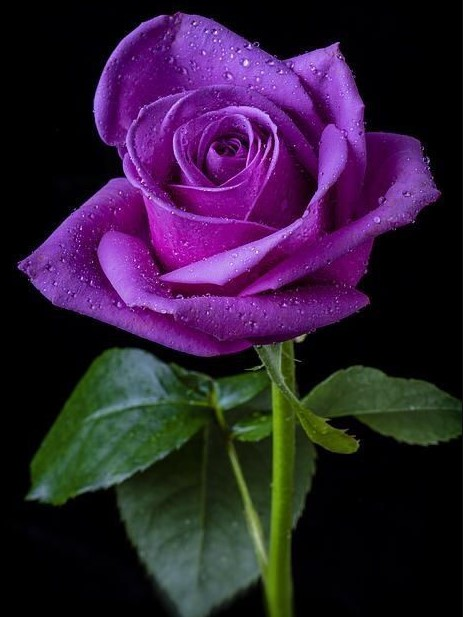 Meaning Of Roses Colors: 34 Different Types Of Purple Flowers For Your Garden