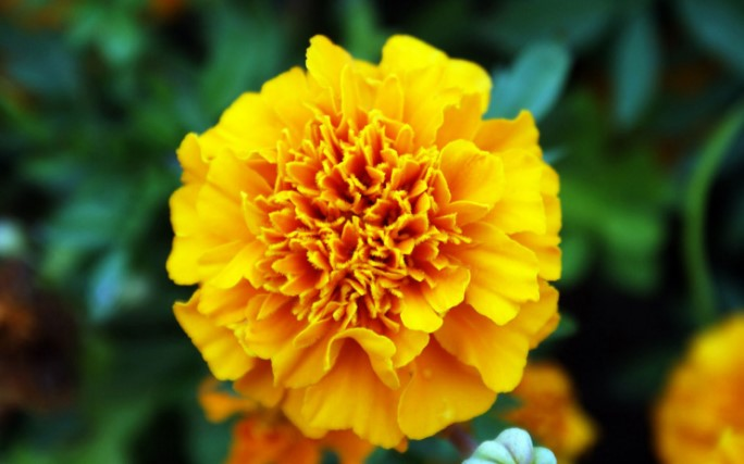 Top 25 most yellow flowers in the world meaning seasonal and most yellow flowers in the world meaning seasonal and occasions mightylinksfo