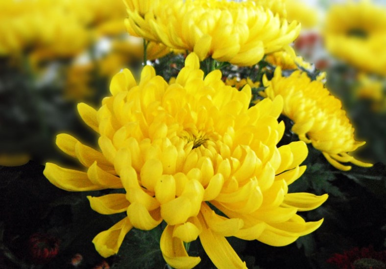 Top 25 most yellow flowers in the world meaning seasonal and most yellow flowers in the world meaning seasonal and occasions mightylinksfo Image collections