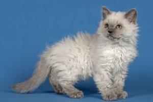 4 Reasons Why Choosing Curly Haired Cat Breeds as Your Pet