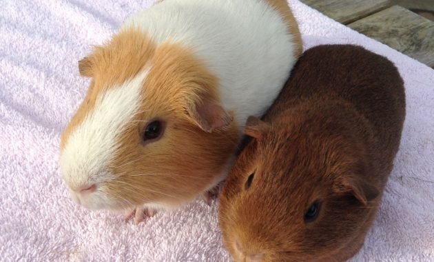 different types of guinea pig