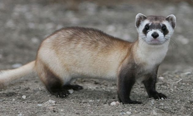 Animals that Start with the Letter F : Ferret