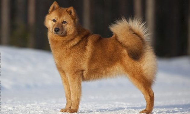 Animals that Start with the Letter F : Finnish Spitz