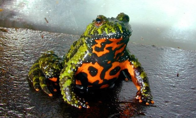 Animals that Start with the Letter F : Fire-bellied toad