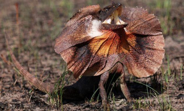 Animals that Start with the Letter F : Frill-necked Reptile