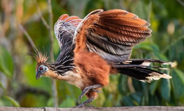 animals that start with h: Hoatzin