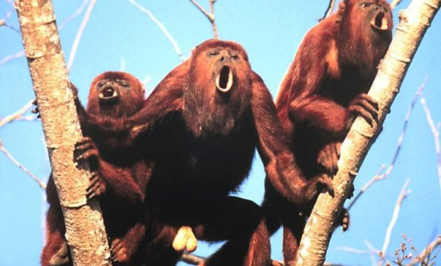 animals that start with h: Howler Monkey