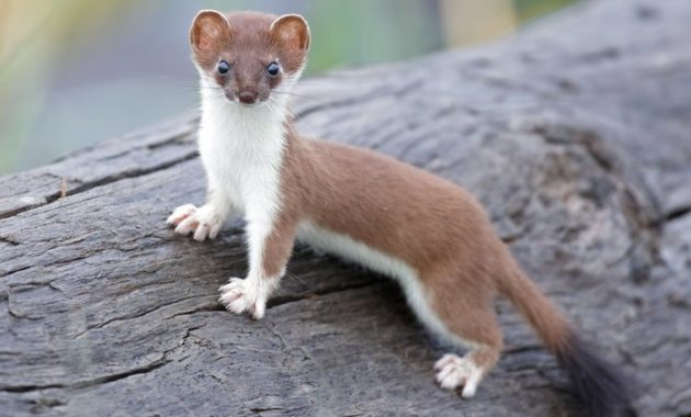 animals that start with l : Least Weasel