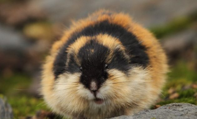 animals that start with l : Lemmings